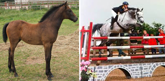 Yearling Showjumping Horses For Sale