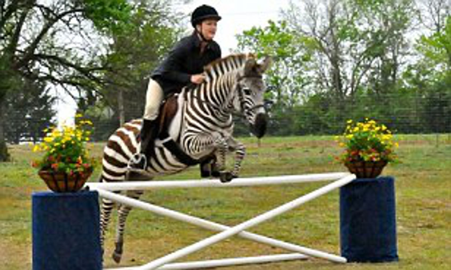 Zack The Jumping Zebra
