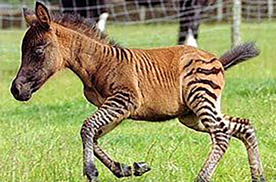Super Cute Rare Zebra Foals